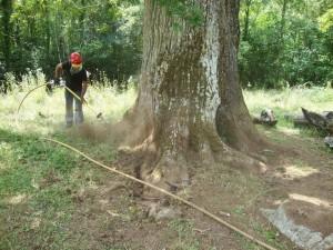 restoration trees singulares_doctorarbol 5