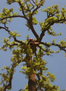 restoration trees singulares_doctorarbol