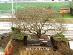 trasplantament de magnolia_doctorarbol.com 6