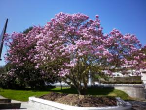trasplantament de magnolia_doctorarbol.com 7