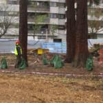 trasplantament de sequoias_doctorarbol.com 2