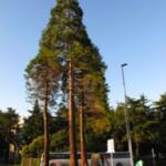 trasplantament sequoias_doctorarbol.com