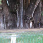 arbre singular_doctorarbol.com